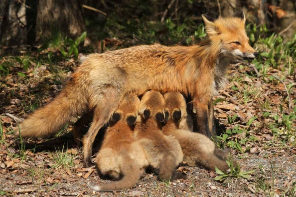 4-26 -17 red foxes nursing