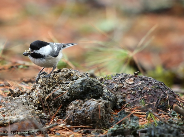 4-7-17 chickadee on scat 116