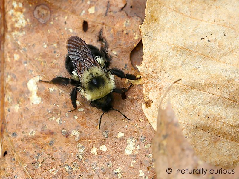 5-1-17 bumblebee 008