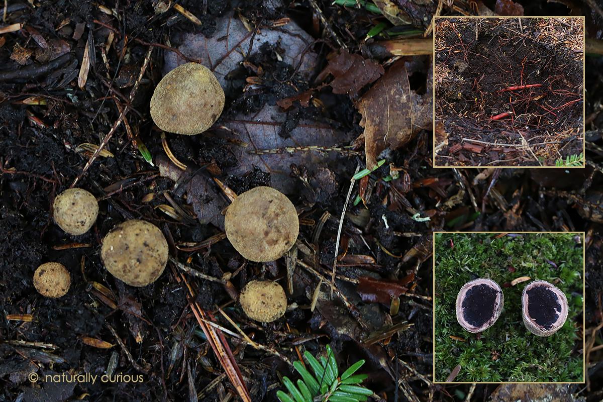 5-10-17 false truffles 032