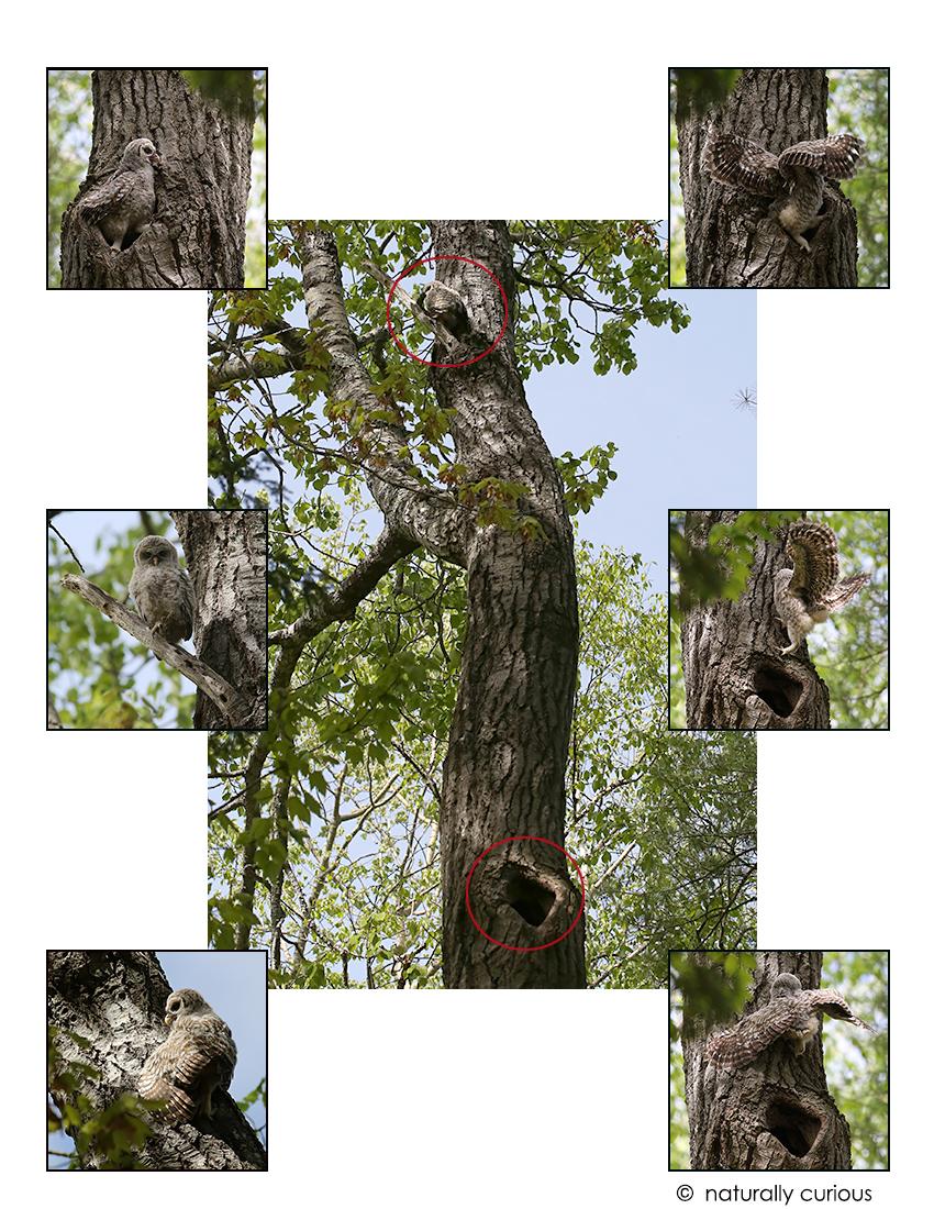 5-25-17 barred owl fledging2