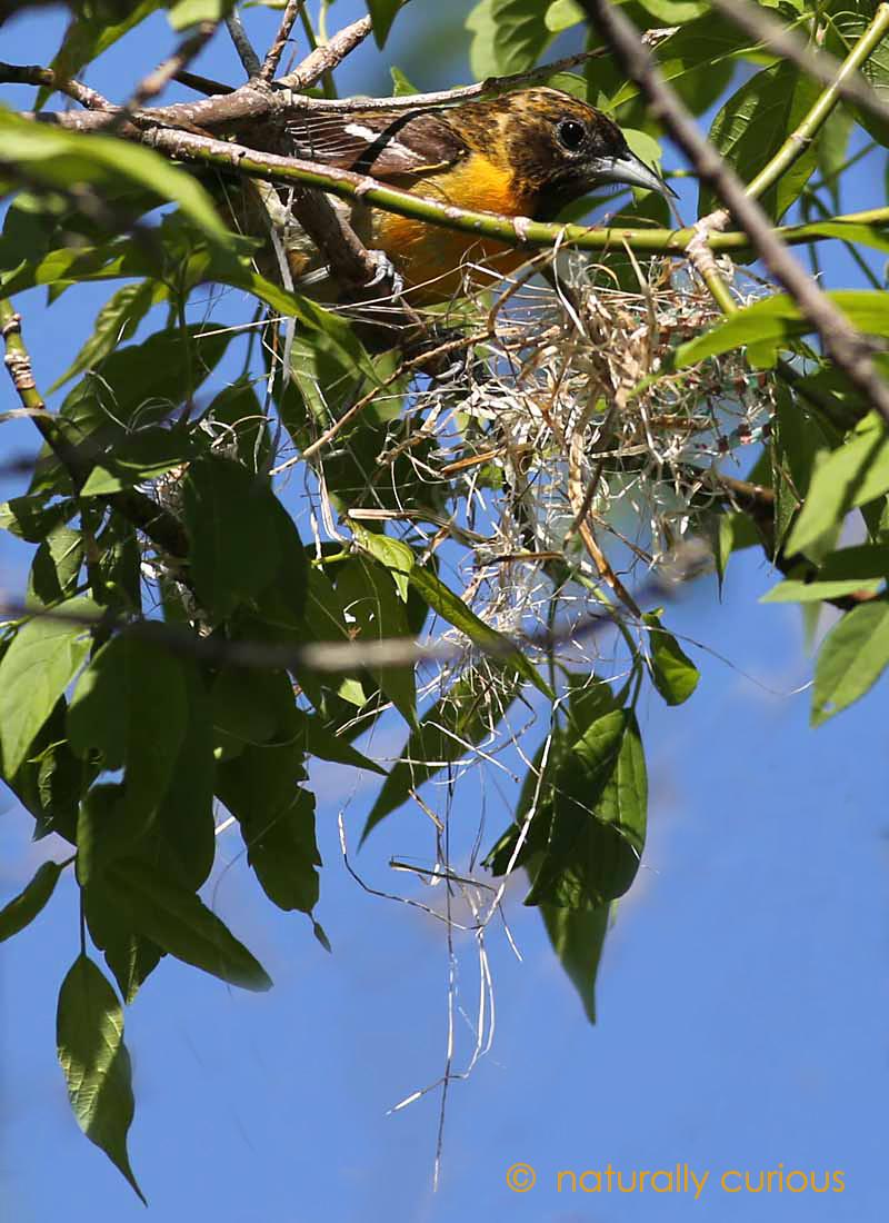 5-26-17 b oriole building nest2 243