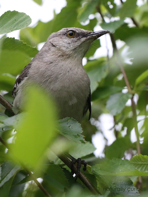 5-31-17 n. mockingbird 081
