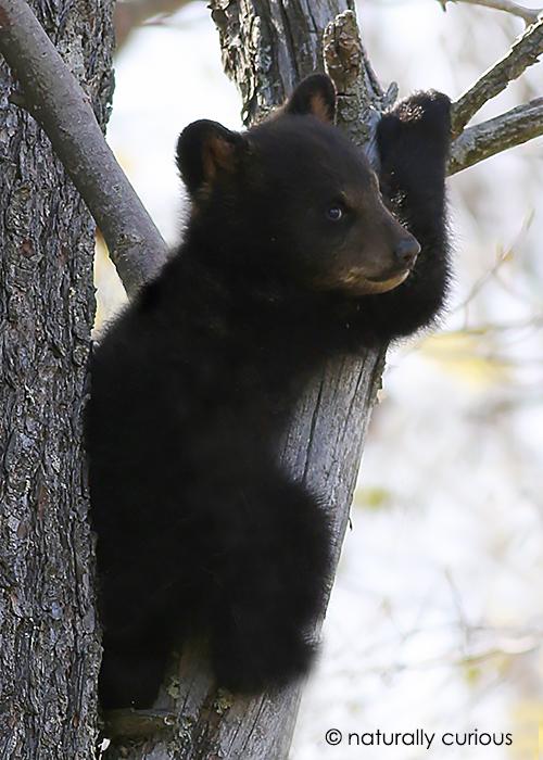 5-8-17 black bear cub 054
