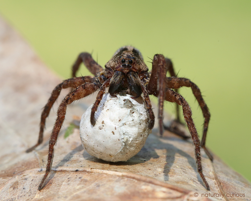 wolf spider My dog was bitten by what appeared to be a wolf spider though spider bites are uncommon in dogs, this article will detail my first hand experience.