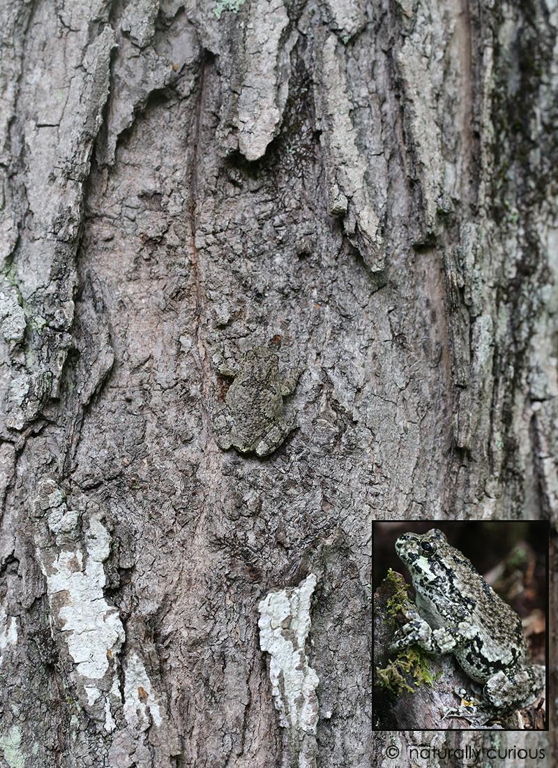 6-14-17 gray treefrog2 206