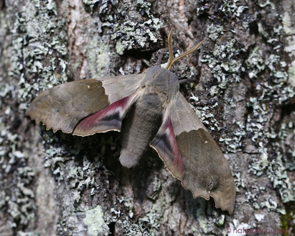 6-15-17 big poplar sphinx moth2 074