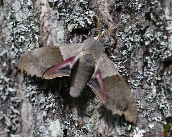 6-15-17 big poplar sphinx moth2 074