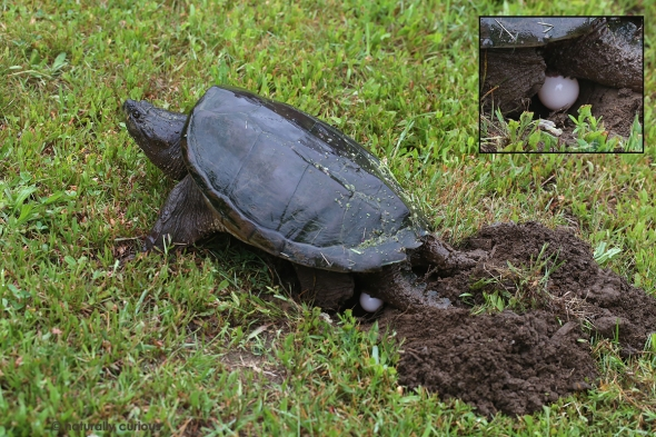 6-19-17 snapping turtle laying eggs2 309