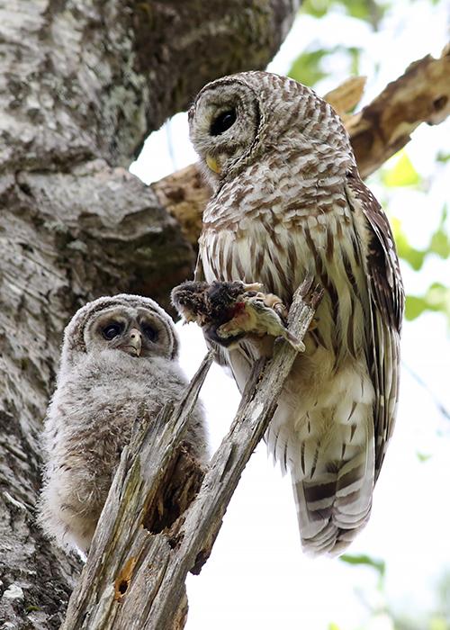6-2-17 barred owls 327