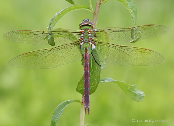 6-20-17 common green darner 021