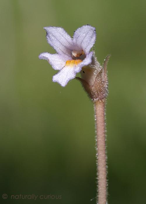 6-20-17 one-flowered cancerroot 099
