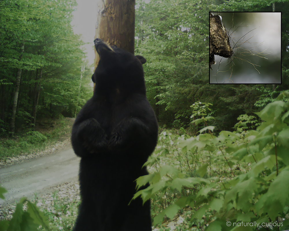 6-21-17 black bear by Alfred 2017-05-24 15.35.19