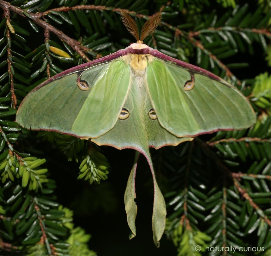 6-26-17 luna moth 001