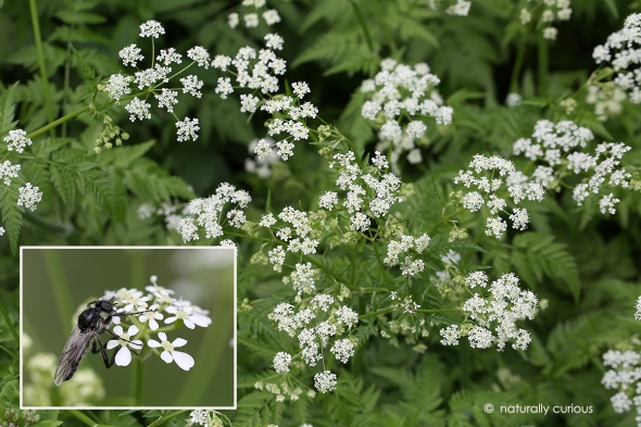 6-5-17 wild chervil and Bibionidae fly 064