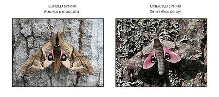 7-11-17 sphinx moths-1