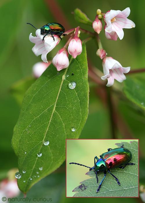 7-14-17 dogbane beetle 168