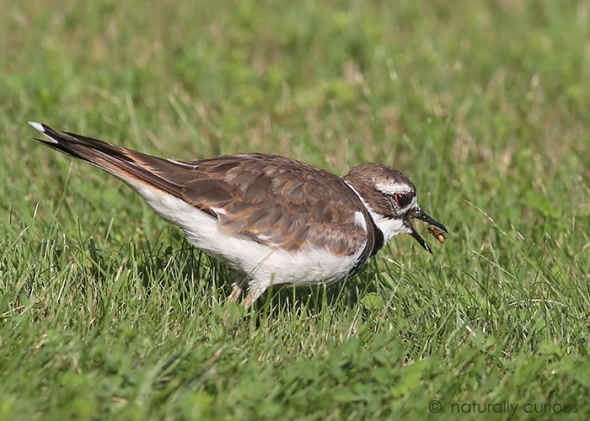 8-4-17 killdeer2 049A1132