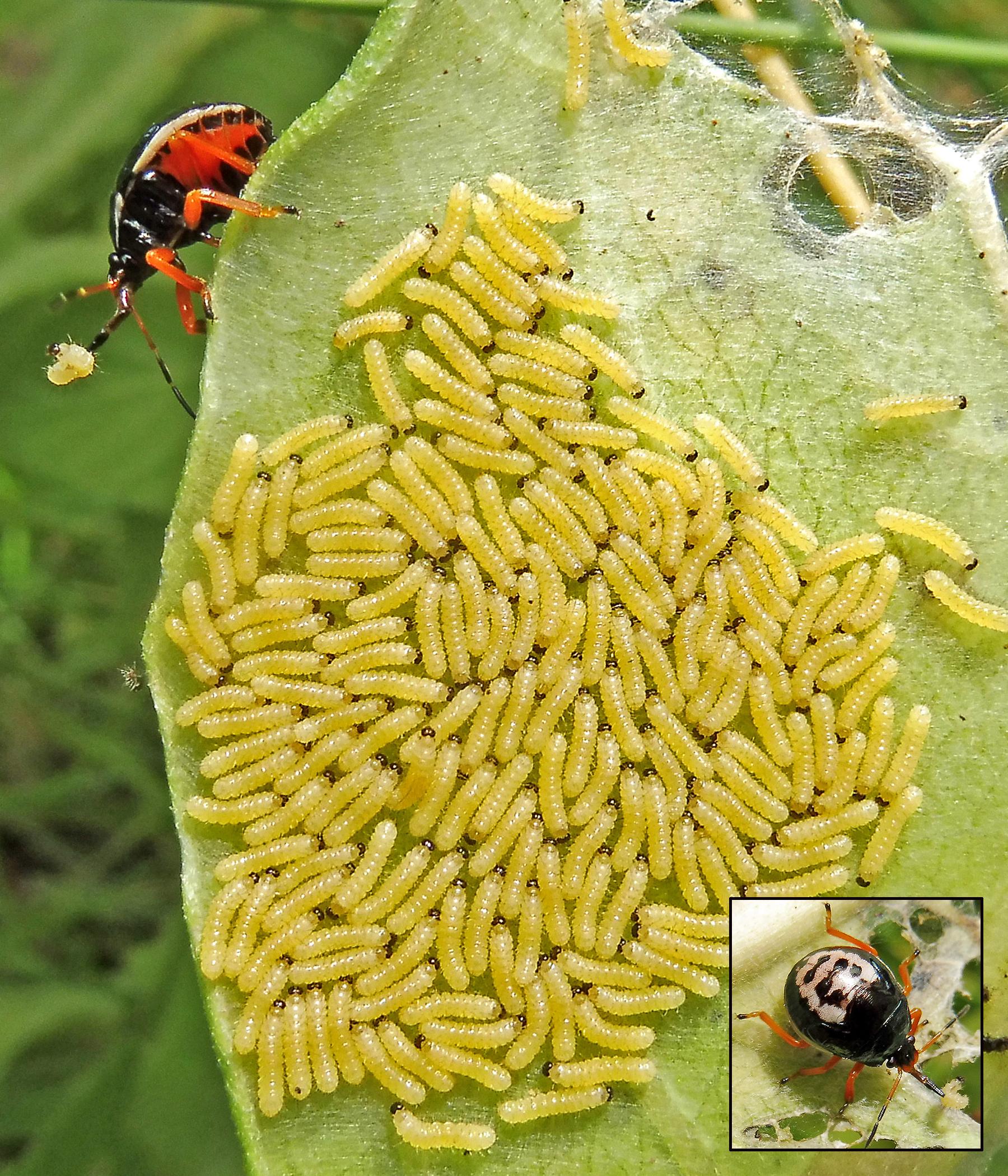 8-7-17 milkweed tussock moth larvae, first instar and (3) (003)