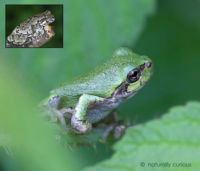 8-16-17 immature gray treefrog 049A2580