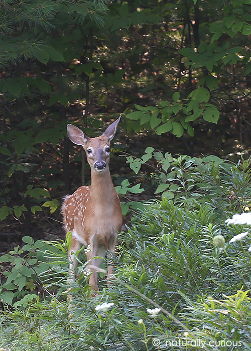 8-28-17 white-tailed fawn 049A3182