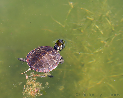 8-29-17 young painted turtle2 049A3648