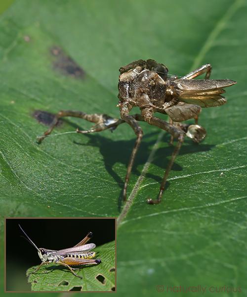 8-31-16 grasshopper molting 049A3466