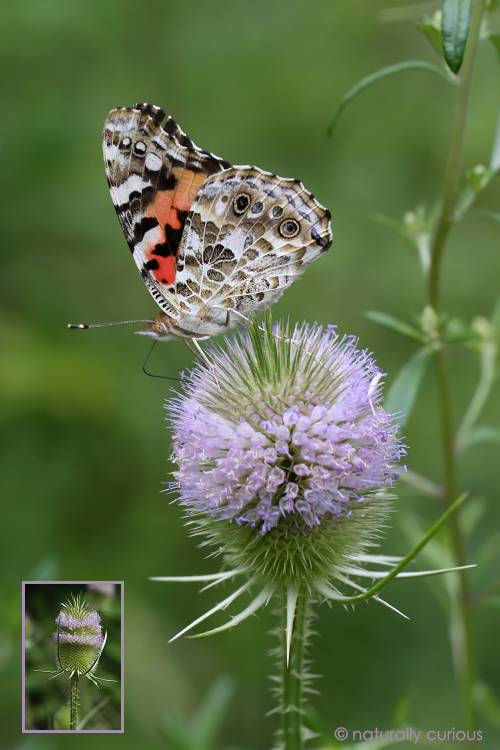8-8-17 teasel and painted lady 049A2076
