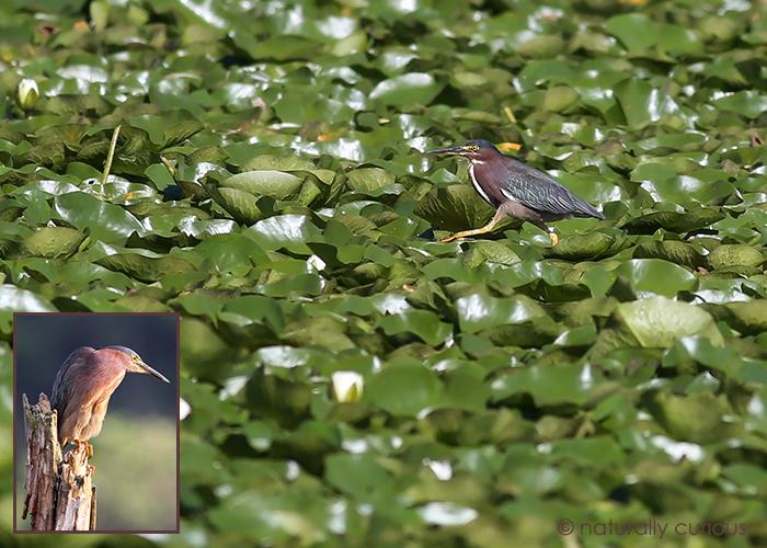 8-9-17 green heron feet2 049A1710