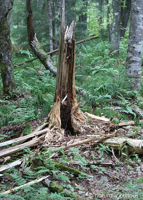 9-4-17 bear tree2 049A4107
