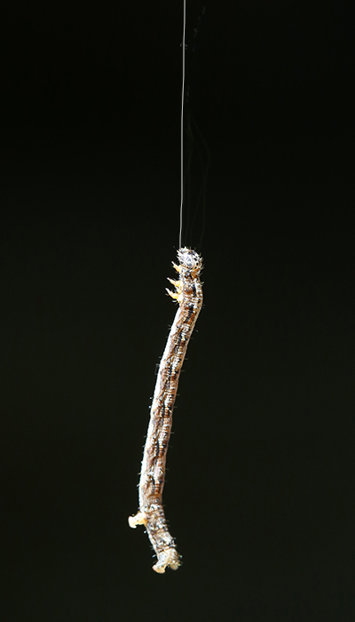 9-5-17 geometrid larva 049A4212