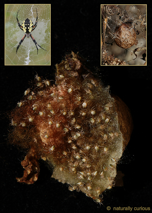 What's Inside A Spider Egg Sac This Time