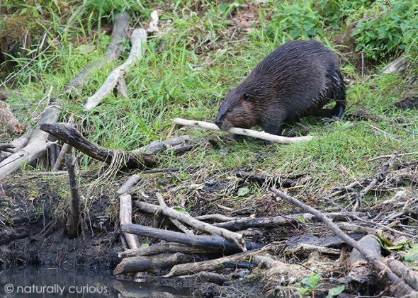 9-12-17 beaver2 20160905_5707