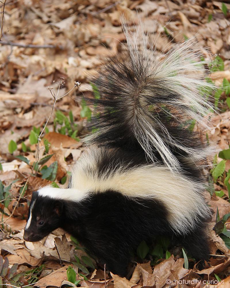 9-25-17 striped skunk IMG_1777