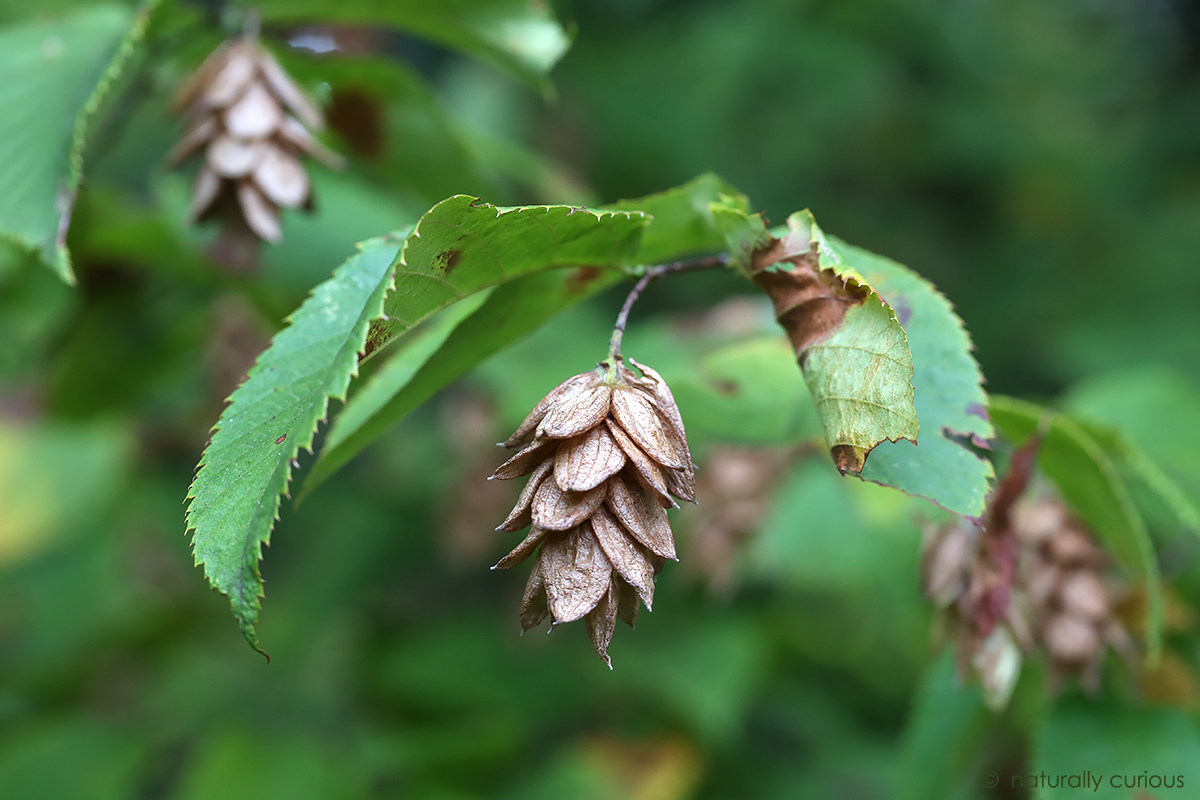 9-26-17 hophornbeam fruit 049A5466