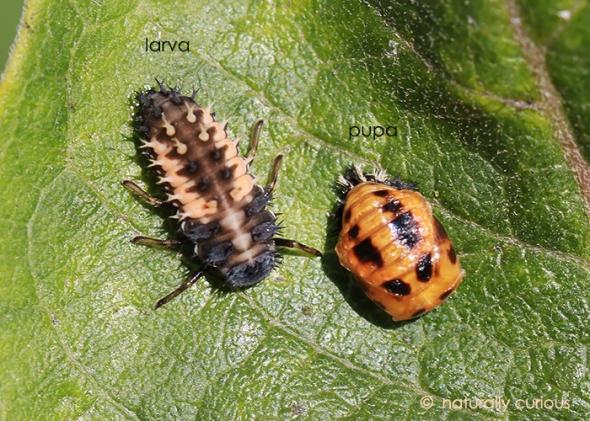 9-27-17 ladybug IMG_6065