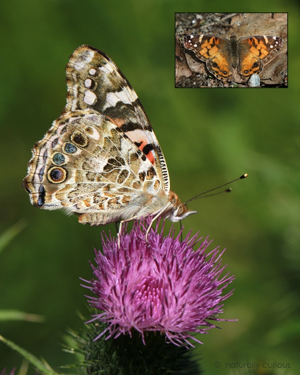 9-28-17 painted lady2 IMG_1979