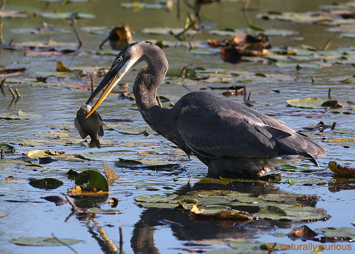 10-10-17 great blue heron with fish 049A5631