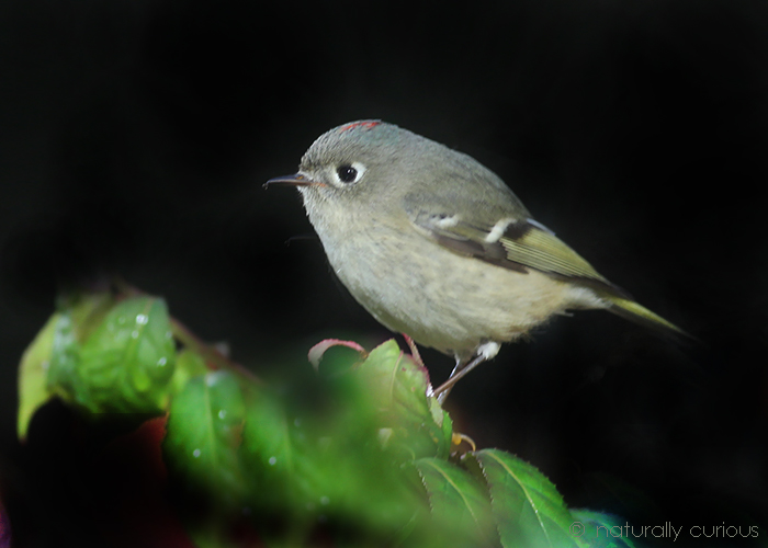 10-13-17 ruby-crowned kinglet 049A6145