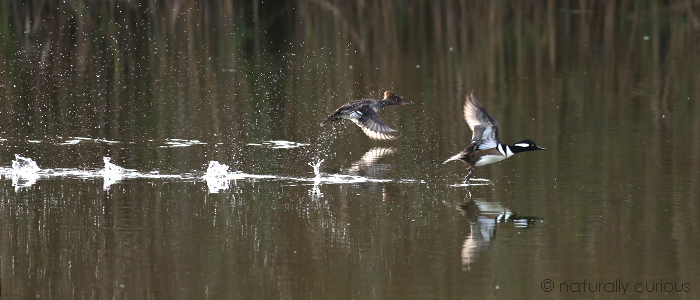 10-23-17 hooded mergs 011