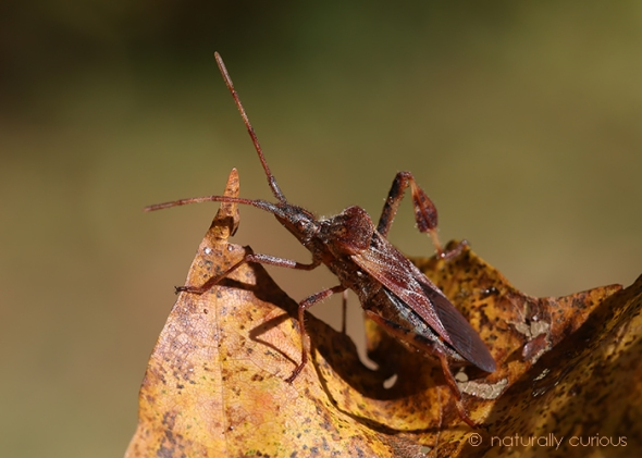 western conifer seed bug 049A6232
