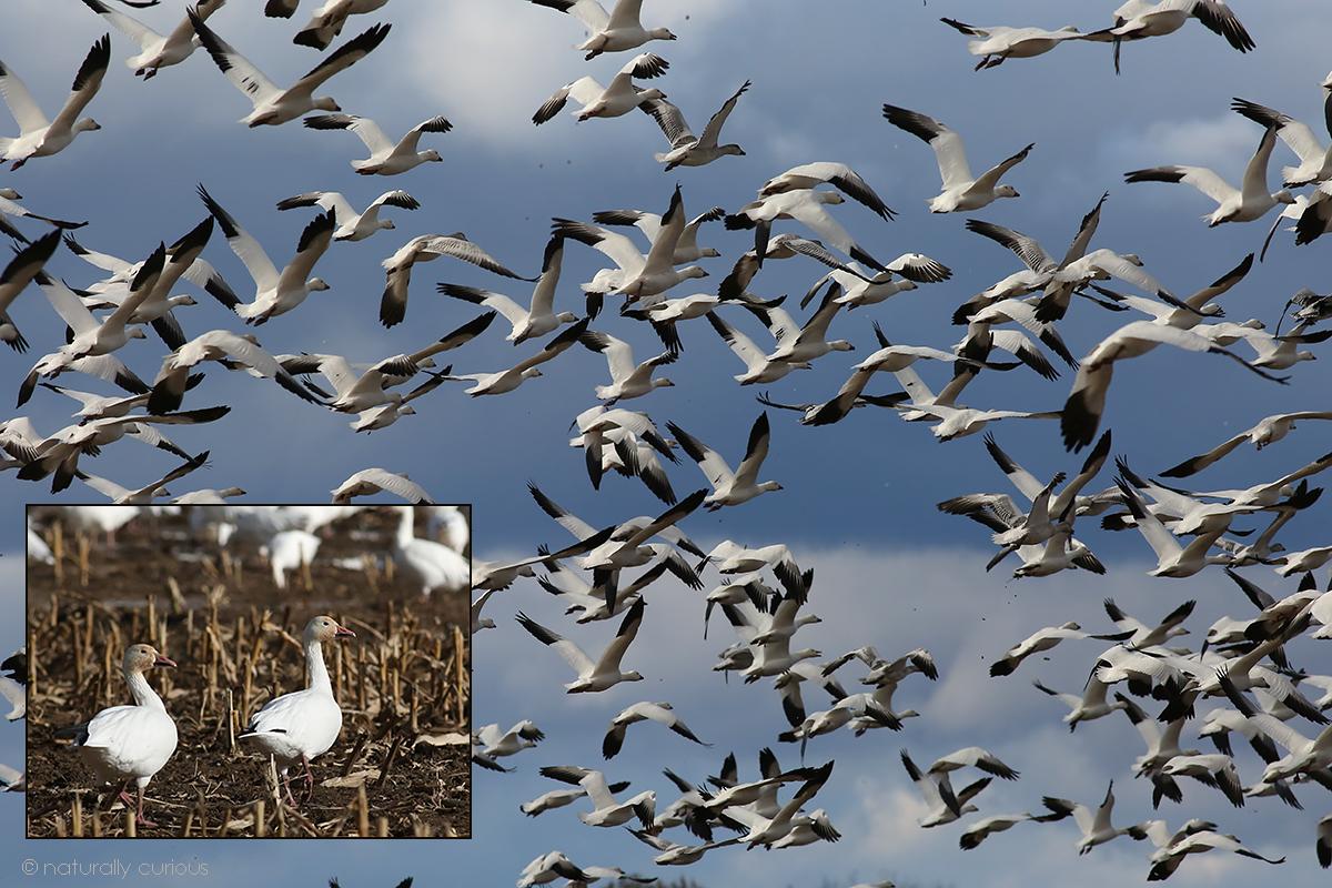11-10-17 final snow geese2 049A7452