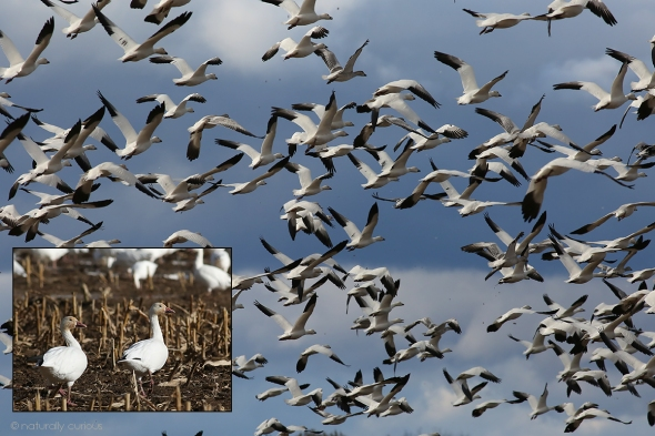 11-10-17 final snow geese2 049A7452