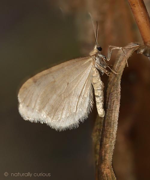 11-17-17 hunter's moth IMG_4508