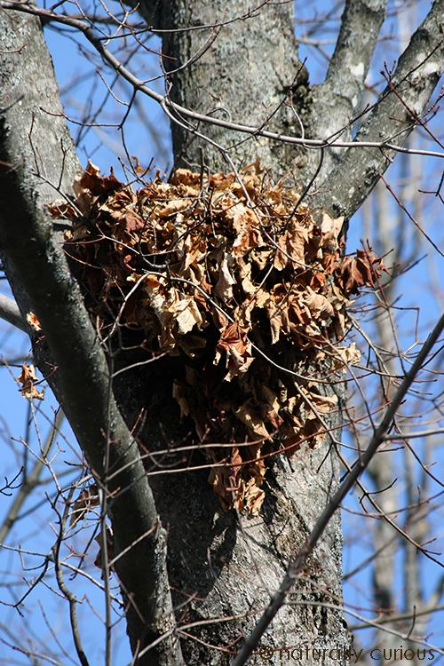 12-11-17 squirrel drey IMG_9660