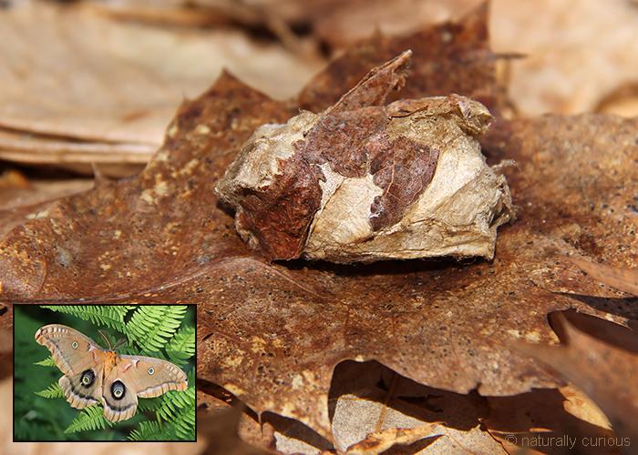 12-15-17 polyphemus cocoon2 IMG_4455
