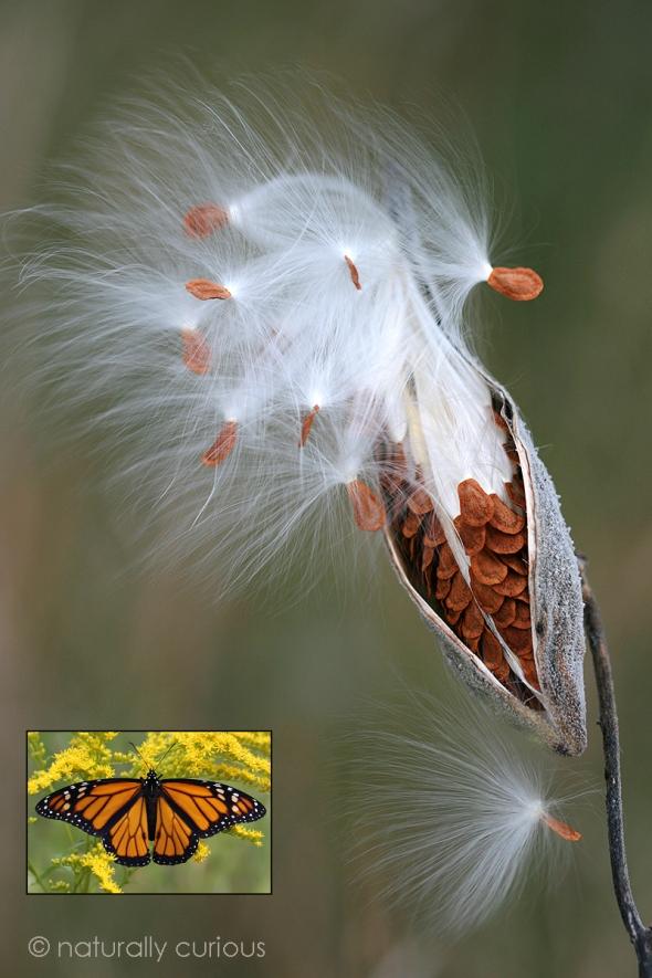 12-3-17 milkweed IMG_0973