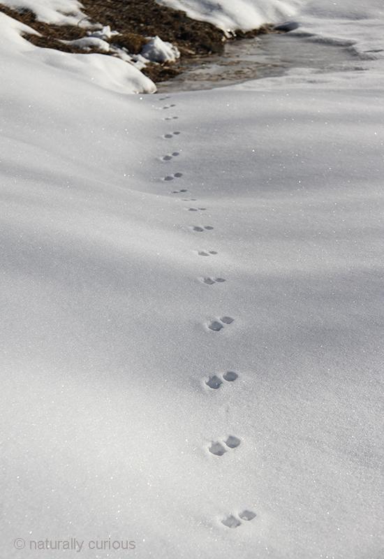 1-16-18 mink tracks IMG_2664