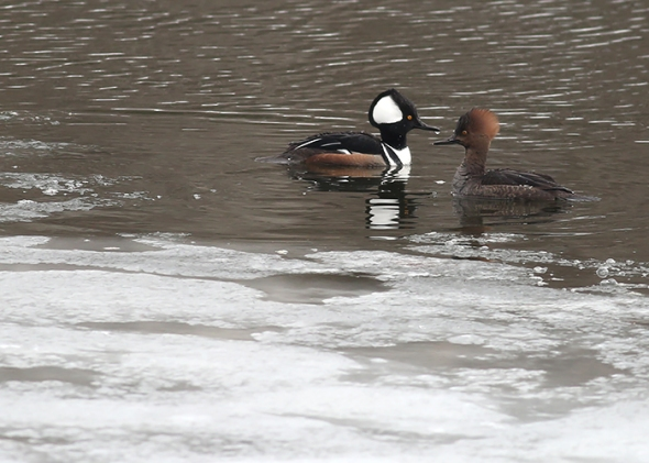 1-29-18 hooded mergansers2 049A2217