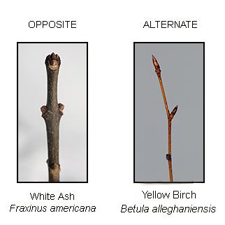 1-31-18 twigs-1